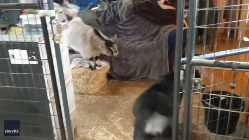 Head to Head: Dog Intervenes in Baby Goat Fight at Ohio Farm