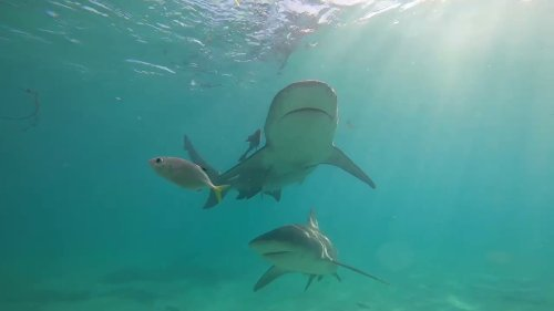 Underwater Videographer Encounters Bull Sharks