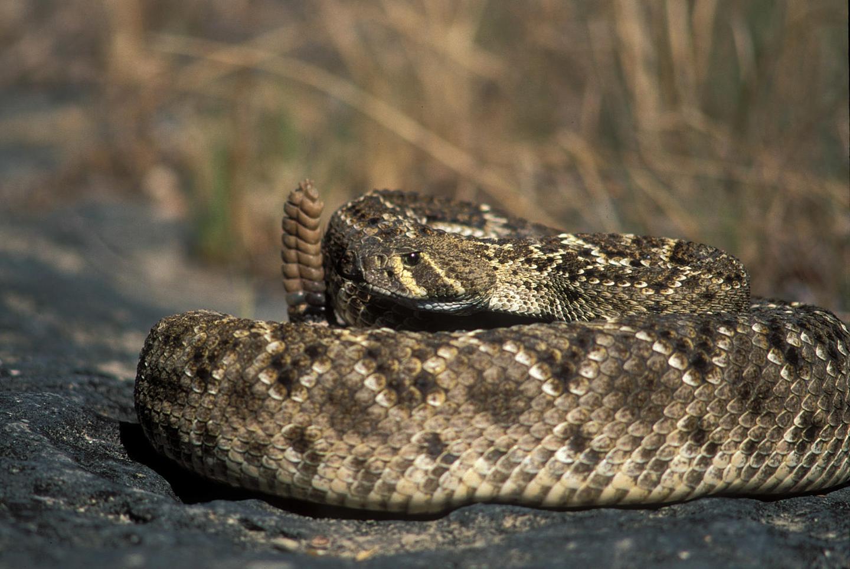 America's most venomous snakes