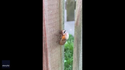 Brood X Cicada Sheds Its Exoskeleton in Washington