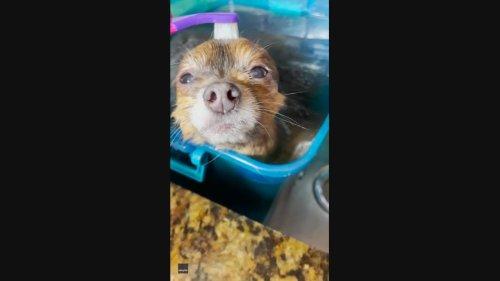 Placid Pomeranian Enjoys Blissful First Bath and Toothbrush Scrub