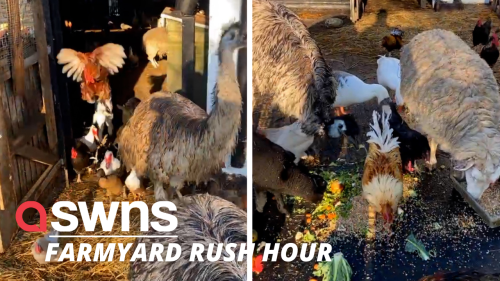 300 farm animals were let out of their barn during the ''morning rush hour'' (RAW)
