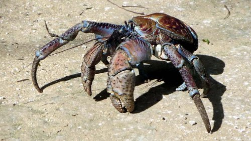 Call the Coconut Crab a Crustacean on Steroids — Plus Other Cool Crustaceans