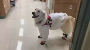 Dressed To the Canines! Check Out This PPE-Wearing Pup as He Helps His Neuroscientist Owner!
