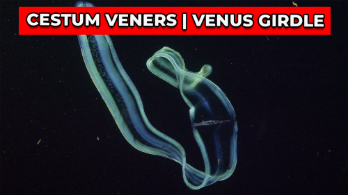 'Cestum veneris   A close look at a one-of-a-kind comb jelly'