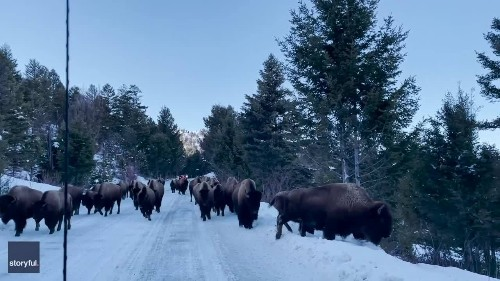 Bison Take Over Road Near Yellowstone National Park