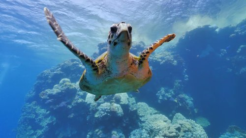 Hawksbill sea turtle swims on tropical coral reef