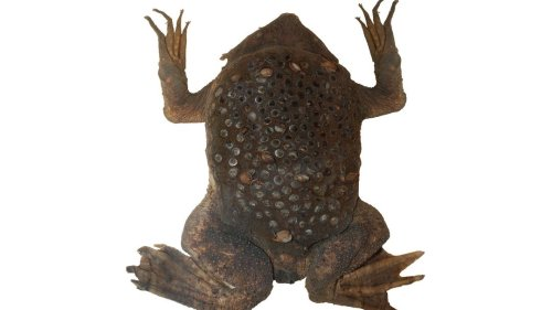 How Do Surinam Toads Give Birth?
