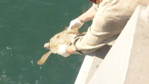 Previously 'Cold-Stunned' Sea Turtles Released Back Into Texan Waters