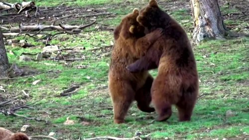 Brown bears come out of hibernation at Belgian zoo
