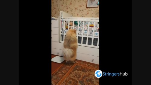 A pomeranian looks at a baby in a crib, Mogilev, Belarus