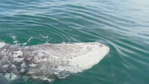 Scientists Monitor Lost Grey Whale in the Mediterranean Hoping It Arrives Home Soon!
