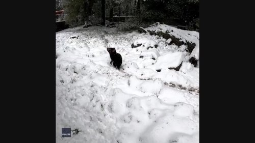 Adorable Tasmanian Devil Greets Snow With a Yawn