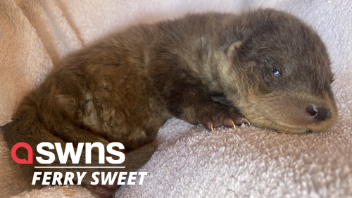 Tiny otter cub gets named after the ferry captain who kept him warm under his jacket (RAW)
