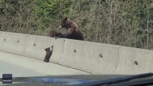 Mama Bear Tries to Help Struggling Cub Cross Canadian Highway