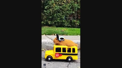 School's Out: Guinea Pig Enjoys Spin in Toy School Bus
