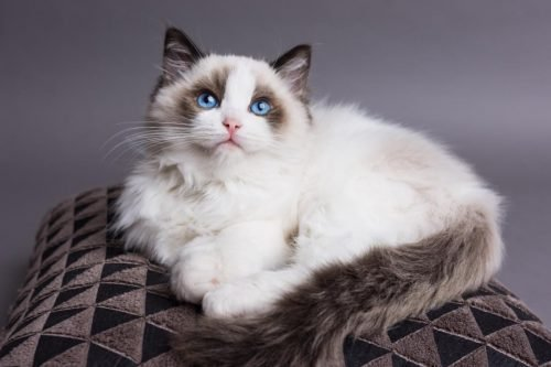 The World's 23 Most Expensive Cat Breeds