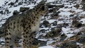 Majestic Snow Leopard Spotted on Camera for the First Time in 5 Years