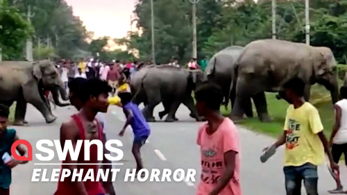 Herd of elephants storm through a tea plantation in India - moments before trampling a man to death