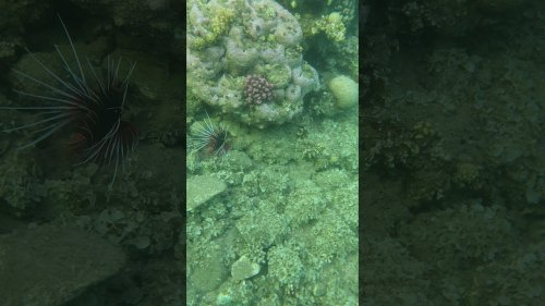 Deadly Lionfish Encounter