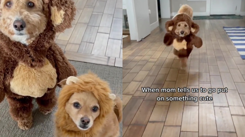 'Cute dogs dressed as teddy bear and lion for Halloween'