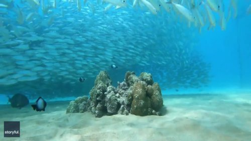 Hawaiian Diver Films Mesmerizing Adventure with Schools of Fish
