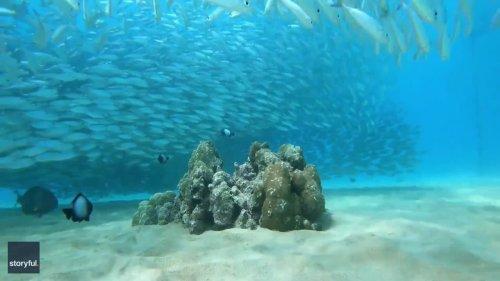 Hawaiian Diver Films Mesmerizing Adventure with Schools of Fish