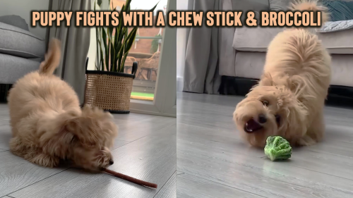 'Playful Puppy Fights with a Chew Stick & Broccoli'