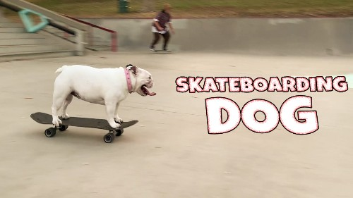 English Bulldog Enjoying Skating At Hazard Skatepark In LA