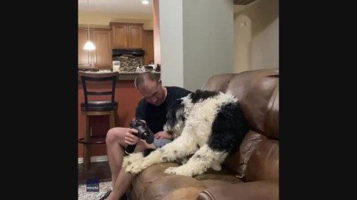 Paw-don Me? Unimpressed Sheepadoodle Demands More Massages