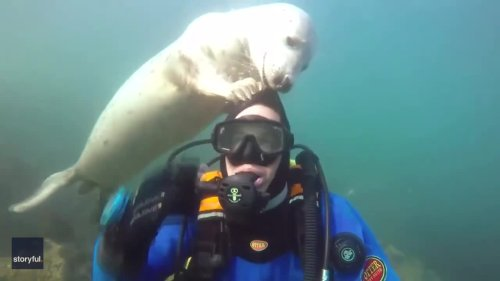 Playful Seals Try to Remove Diver's Cap