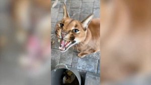 Big Cat Lives Kitty Kat Life! Latvian-owned Caracal Pumba Lives in Lap of Luxury With Owner!