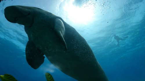 Hungry Dugong eats sea grass