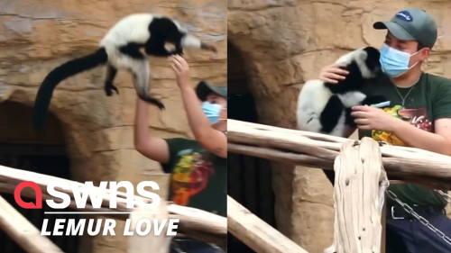 Adorable video shows lemurs launching themselves into their keepers arms