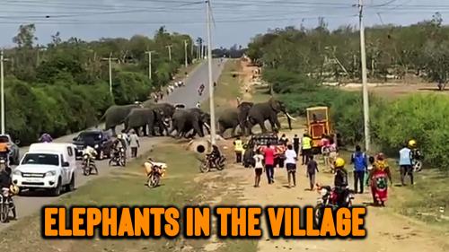 'Herd of elephants crosses busy road in Kenya in their quest for fresh water'