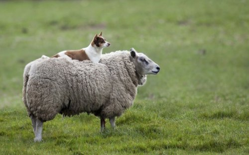 How Single Dogs Can Herd Giant Groups of Sheep