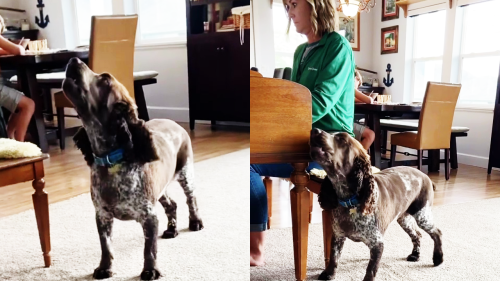 'Adorable Dog Sings as Owner Plays Piano '