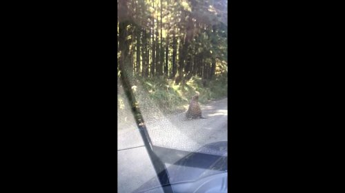 Canadian sea lion sighted on logging road