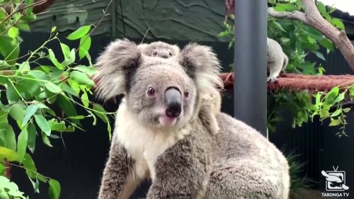 Sydney's koala joey emerges from mom's pouch
