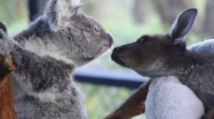 This Koala and Baby Kangaroo Become Best Friends!