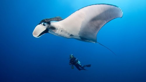 What's the Difference Between Manta Rays and Stingrays?