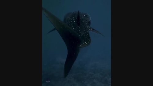 Diver Captures Close Encounter With Whale Shark