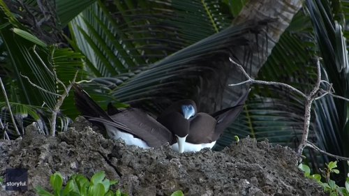 Zoologist Spots Brown Booby Pair in Courtship Ritual on Christmas Island