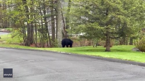 Black Bears Take a Stroll Through Connecticut Neighborhood