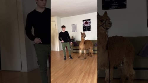 TikTok Legend Argues With Dad Over Alpaca