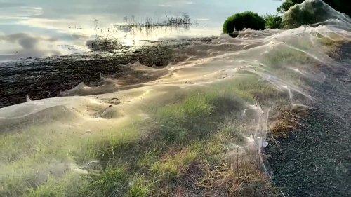 Huge spiders' gossamer web blankets bushland in Australia, billows under sun