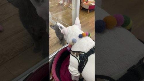 Curious Dog Encounters Pet-Store Kitten