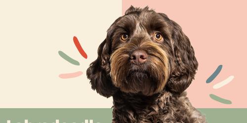 Luscious Locks: 15 Curly Dog Breeds