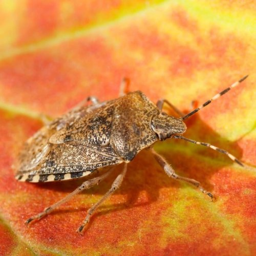 Stop Stink Bugs From Invading Your Home