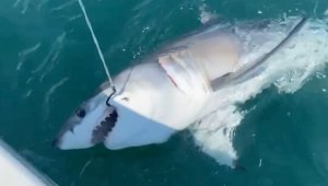 Must See! Unsuspecting Fisherman Accidentally Reels in a Great White Shark Off the Coast of New Jersey